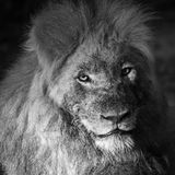 A male lion in the wilderness of africa royalty free stock photo