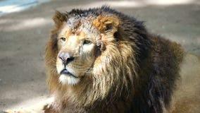 Portrait of Male Lion stock video