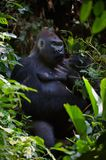 Portrait of male Lowland Gorilla. The male of a gorilla eating leafs. A native habitat. Congo Royalty Free Stock Image