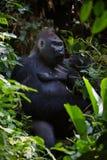 Portrait of male Lowland Gorilla. Royalty Free Stock Image