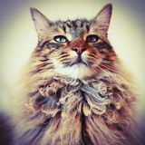 Portrait of a male maine coon lynx cat. Head shot of a handsome long haired lynx tabby,  Looking at camera Stock Images