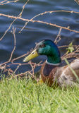Portrait of a male mallard duck near the Seine River - France Stock Photography