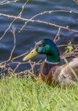 Portrait of a male mallard duck near the Seine River - France Stock Photography
