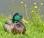 Portrait of male mallard. Male of mallard in the grass Royalty Free Stock Photography