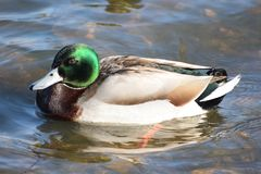 Mallard duck portrait. A Portrait of a male mallard swimming on a lake Stock Image