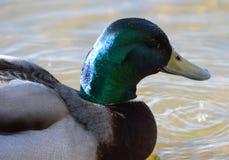 Mallard duck portrait. A Portrait of a male mallard swimming on a lake Royalty Free Stock Photography