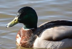 Mallard duck portrait. A Portrait of a male mallard swimming on a lake Royalty Free Stock Image