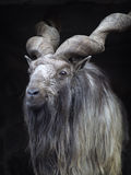 Portrait of male Markhor (Capra falconeri).  Royalty Free Stock Photos