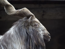 Portrait of male Markhor (Capra falconeri) Stock Photos
