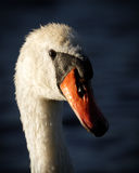 Portrait of Male Mute Swan with Ruffled Feathers. An adult male swans face shown in very high detail in contrasting evening light with dark blue background. His Royalty Free Stock Image