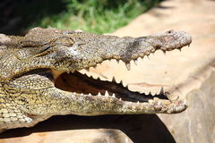 Portrait of a male nile crocodile resting close to the river's side in Luxor, Egypt Stock Image