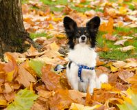 Portrait of a male papillon, autumn's flavor. Portrait of a male papillon sitting on fallen maple leaves Royalty Free Stock Photo