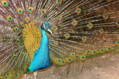 Portrait of a male peacock Royalty Free Stock Image
