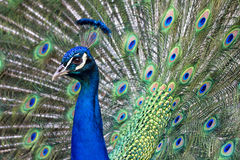 Vibrant Blue Male Peacock Royalty Free Stock Photos