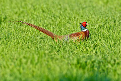 Portrait of a male pheasant Stock Photography