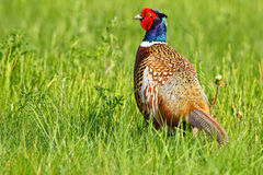 Portrait of a male pheasant Royalty Free Stock Images