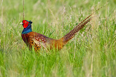 Portrait of a male pheasant Stock Images