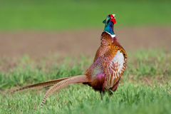 Portrait of a male pheasant Royalty Free Stock Photography