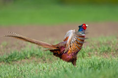 Portrait of a male pheasant Stock Image