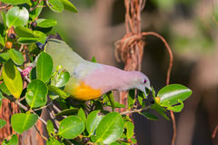 Portrait of Male Pink-necked Green Pigeon(Treron vernans) Stock Image