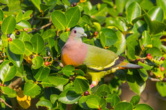Portrait of Male Pink-necked Green Pigeon Stock Image