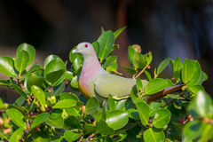 Portrait of Male Pink-necked Green Pigeon Royalty Free Stock Photos