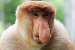 Portrait of Male Proboscis Monkey Nasalis larvatus