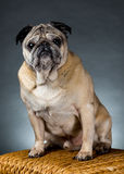 Arrogant Pug. Portrait of a male pug sitting on a stool in front of a gray background Royalty Free Stock Images