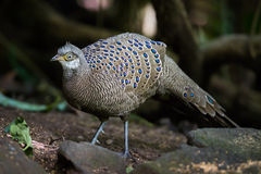 Portrait of male Rare Grey Peacock-Pheasant Royalty Free Stock Images