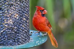 Portrait Of A Male Red Cardinal. On a bird feeder royalty free stock image