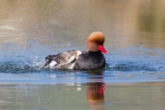 Portrait of male red-crested pochard Netta rufina Royalty Free Stock Photo
