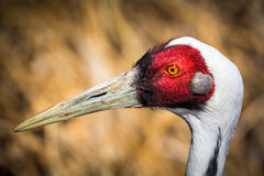 Portrait of  a male Sarus Crane. Stock Image