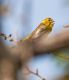 Portrait of a male Serin. Close-up of a male Serin (Serinus serinus) one of the tiniest birds in Europe Stock Photography
