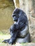 Portrait of a Male SilverBack Gorilla Sitting Royalty Free Stock Photo