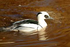 Smew swimming in the water. Portrait of a male smew swimming in the water Stock Image
