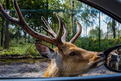 Portrait of a male spotted deer. Handsome male Sika deer with huge horns sees itself in the mirror of a car,amid pine-birch forest Royalty Free Stock Photo