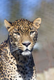 Portrait of a male Sri Lanka Leopard, Panthera pardus kotiya Stock Images