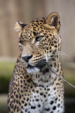 Portrait of a male Sri Lanka Leopard, Panthera pardus kotiya Stock Photography