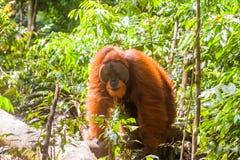 Portrait of male Sumatran orangutan Pongo abelii in Gunung Leuser National Park, Sumatra, Indonesia. Stock Photos