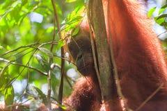 Portrait of male Sumatran orangutan Pongo abelii in Gunung Leuser National Park, Sumatra, Indonesia. Stock Photography