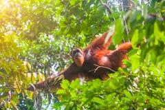 Portrait of male Sumatran orangutan Pongo abelii in Gunung Leuser National Park, Sumatra, Indonesia. Stock Image