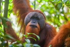 Portrait of male Sumatran orangutan Pongo abelii in Gunung Leuser National Park, Sumatra, Indonesia. Stock Photo