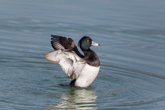 Portrait of male tufted duck Aythya fuligula splashing and gro. Oming with wings Stock Image
