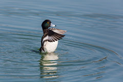 Portrait of male tufted duck Aythya fuligula splashing and gro. Oming with wings Royalty Free Stock Image