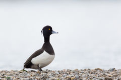 Portrait of male tufted duck (Aythya fuligula). Standing on stone beach Stock Images