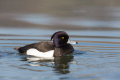 Portrait of male tufted duck Aythya fuligula while swimming. On water surface Royalty Free Stock Images