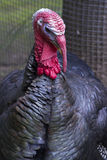 Portrait of a male turkey in the autumn day. Portrait of a male turkey in the autumn overcast day Stock Photo