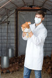 Portrait of male veterinarian holding chicken. Portrait of Male veterinarian in white coat and mask holding brown chicken in hands on hen house Stock Photography