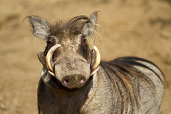 Portrait of a male warthog Stock Photos