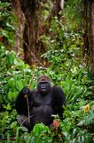 Portrait of male Western Lowland Gorilla. The male of a gorilla poses in front of the camera. A native habitat Royalty Free Stock Photos